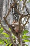 Mono el dormir en Wat Thum Kao Yoi Imagen de archivo