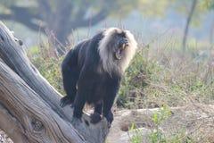 Mono el rabiar Foto de archivo