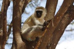 Mono en África Fotografía de archivo