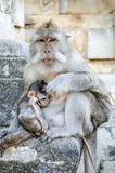 Mono en Bali Indonesia Fotografía de archivo