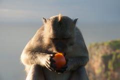 Mono en Bali que come un tomate Fotos de archivo libres de regalías