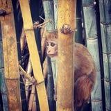 Mono en bambú Fotos de archivo