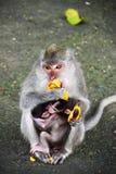 Mono en bosque del mono Fotografía de archivo libre de regalías