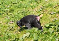 Mono en Chester Zoo, Chesire Imagen de archivo libre de regalías