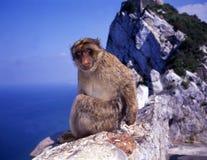 Mono en el acantilado Gibraltar Imagenes de archivo
