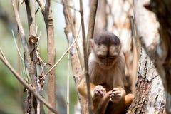 Mono en el Amazonas Imagen de archivo
