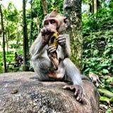 Mono en el mono Bali más forrest Ubud imágenes de archivo libres de regalías