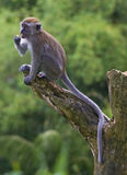 Mono en el borde Fotografía de archivo libre de regalías