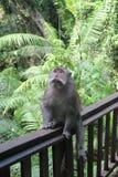 Mono en el bosque del mono, Bali Imagen de archivo libre de regalías