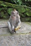 Mono en el bosque del mono sacro de Ubud (Bali, Indonesia) Fotografía de archivo