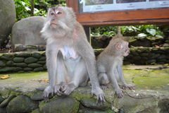 Mono en el bosque del mono sacro de Ubud (Bali, Indonesia) Imagen de archivo libre de regalías