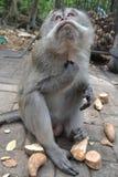 Mono en el bosque del mono sacro de Ubud (Bali, Indonesia) Imagen de archivo