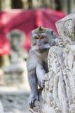 Mono en el bosque sagrado del mono, Ubud, Bali, Indonesia fotos de archivo