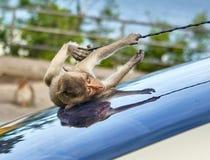 Mono en el coche Fotos de archivo