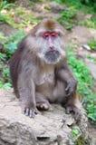 Mono en el montaje Emei Imagen de archivo