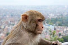 Mono en el templo de Swayambhunath en Nepal Fotos de archivo