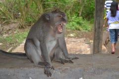 Mono en el templo de Uluwatu - isla de Bali, Indonesia Fotos de archivo libres de regalías