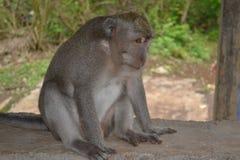 Mono en el templo de Uluwatu - isla de Bali, Indonesia Imagen de archivo libre de regalías