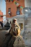 Mono en el templo del mono en Katmandu Fotos de archivo libres de regalías