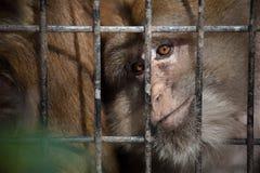 Mono en jaula Fotografía de archivo