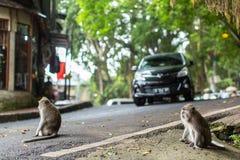 Mono en la calle en el centro de Ubud - la ciudad es uno de los artes de Bali y de los centros importantes de la cultura Imagen de archivo libre de regalías