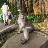 Mono en la calle en el centro de Ubud - la ciudad es uno de los artes de Bali y de los centros importantes de la cultura Fotografía de archivo