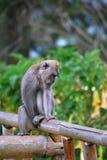 Mono en la cerca de bambú Foto de archivo libre de regalías