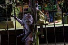 Mono en la puerta del templo fotos de archivo libres de regalías