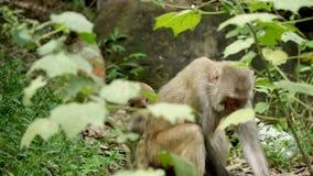 Mono en las selvas salvajes de Asia almacen de metraje de vídeo
