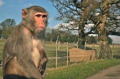 Mono en LongLeat Foto de archivo