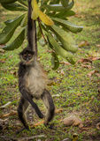 Mono en México foto de archivo libre de regalías