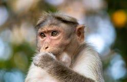 Mono en modo de pensamiento imagen de archivo libre de regalías