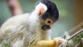 Mono en parque zoológico que come las hojas almacen de metraje de vídeo