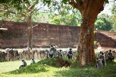 Mono en Sri Lanka fotos de archivo libres de regalías