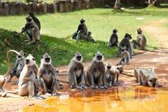 Mono en Sri Lanka imagenes de archivo