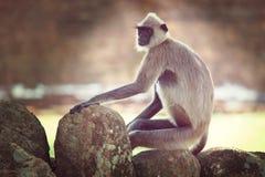Mono en Sri Lanka fotografía de archivo