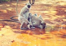 Mono en Sri Lanka fotografía de archivo libre de regalías