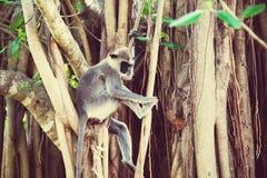 Mono en Sri Lanka foto de archivo