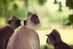 Mono en Sri Lanka foto de archivo libre de regalías