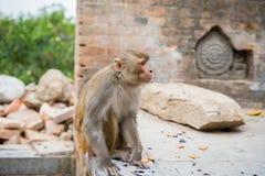 Mono en Swayambhunath Imagen de archivo libre de regalías
