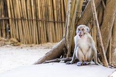 Mono en Tailandia Foto de archivo