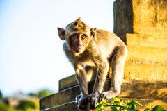 Mono en Uluwatu Bali Indonesia Fotos de archivo libres de regalías