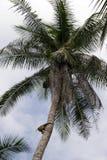 Mono en un árbol de coco Imagen de archivo libre de regalías