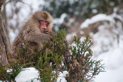 Mono en un árbol, Japón de la nieve Imagen de archivo