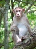 Mono en un árbol Fotografía de archivo