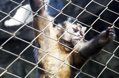 Mono en una jaula Fotografía de archivo