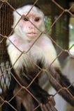 Mono en una jaula, dos puntos Panamá Fotos de archivo