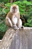 Mono en una pared Imágenes de archivo libres de regalías
