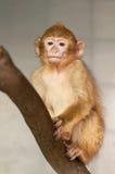 Mono en una rama Foto de archivo