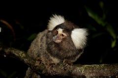 Mono en una ramificación de árbol Fotos de archivo libres de regalías